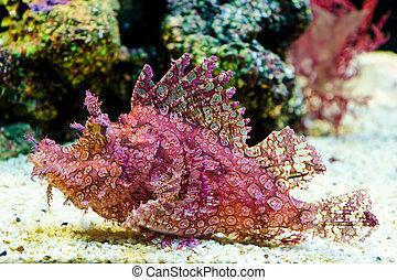 frondosa), scorpionfish, lleno de hierbajos, (rhinopias