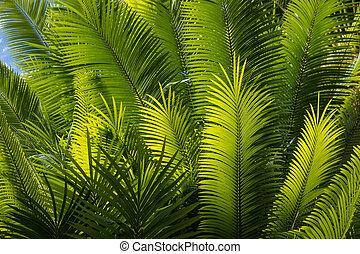 fronds palma, árvore, sunlit