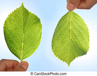 Front and back of a Hydrangea leaf