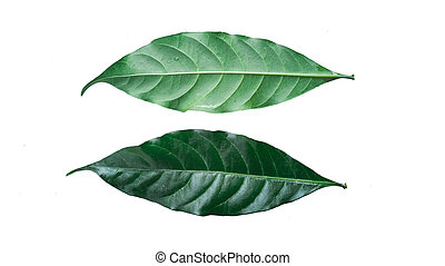 Front and back of leaves on a white background