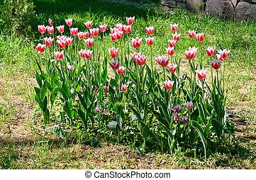 Front garden of tulips