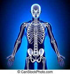 front, koerperbau, knochen, -, skelett