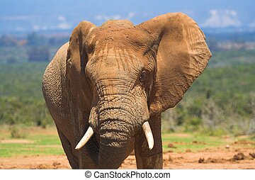 African Elephant - Front of an African Elephant head