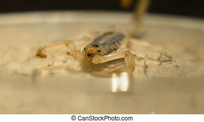 Front of Small Scorpion - Steady, close up shot of the front...