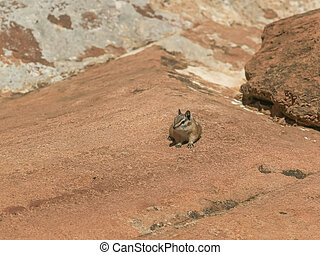 front on shot of a chipmunk on a rock shelf at zion np
