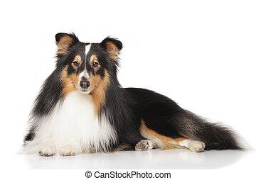 Front,  shetland, weißes, schäferhund, hintergrund
