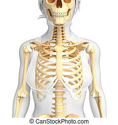 front, skelett, menschliche , ansicht