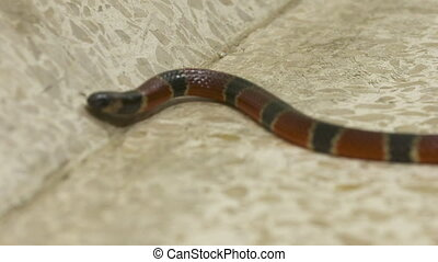 Close-up low-angle front-view still shot of a coral snake lying still on a tile floor, Costa Rica, Central America