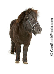 front view of a brown pony isolated on a white background