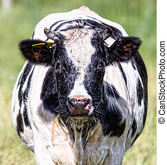 Front View of a cow - Cow in a field.