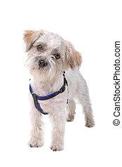 front view of a funny mixed breed boomer dog looking at camera