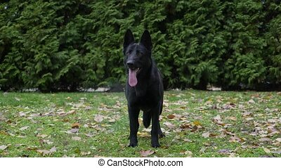 Front view of a black German shepherd dog in an autumn park on green grass, sprinkled with fallen leaves. The dog stands in full growth, sticking out its tongue, takes a step forward. Slow motion. Close up.