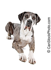great dane dog - front view of a great dane dog lying on the...