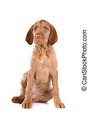 front view of a hungarian wire haired vizsla puppy sitting, isolated on a white background
