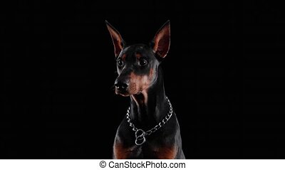 Front view of a purebred Doberman Pinscher sitting in the studio against a black background. Close up of a dog's muzzle with a chain collar on the neck