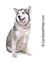 Front view of an Alaskan malamute dog (maly) sitting and panting, isolated on a white background