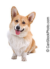 Welsh Corgi Pembroke dog - front view of an Welsh Corgi ...