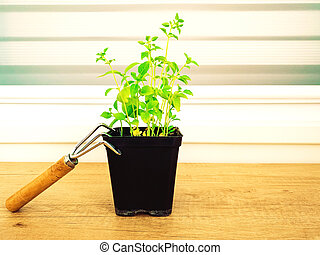 Front view of basil seedlings with gardening tools on wooden table. Home garden and eco concept. Selective focus