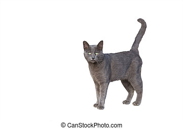 Chartreux cat - front view of Chartreux cat standing...