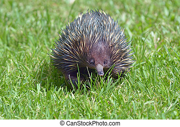 Echidna porcupine walking on green grass - Front view of ...