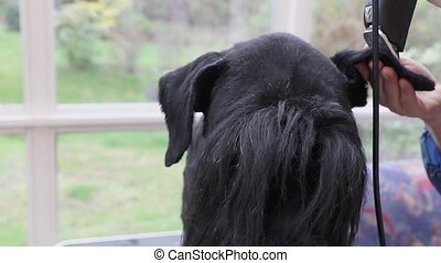Front view of grooming ear of the Giant Black Schnauzer dog closeup