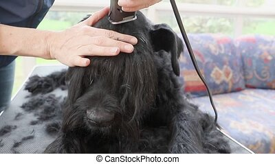 Front view of grooming the head of the Giant Black Schnauzer