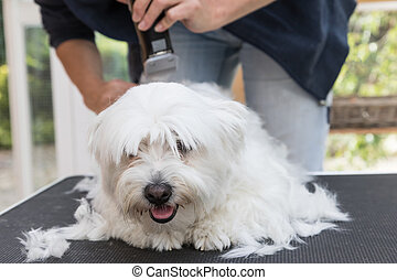 Front view of grooming the white Maltese dog