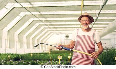 Front view of senior man gardening in the greenhouse, ...