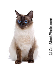 front view of siamese cat sitting and looking at view
