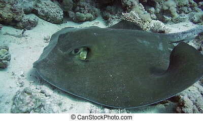 Front view of stingray - Front view of Feathertail stingray...