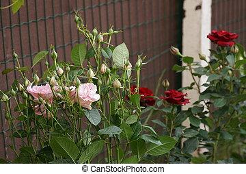Front view of three beautiful rosebushes