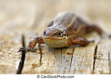front view of viviparous lizard ( Zootoca vivipara )...
