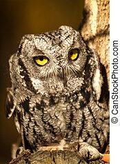Western Screech Owl - Front view of Western Screech Owl...