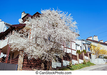 Front view of white rustic scandinavian house with plum tree in blossom in spring. Europian architecture. Exterior
