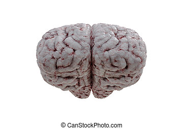 Front view on human brain isolated on white background. 3D rende
