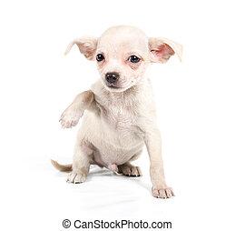 Front, weißes,  Chihuahua, junger Hund, hintergrund