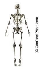 frontal, lleno, esqueleto