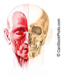 Frontal view of male human head, with half muscles and half ...