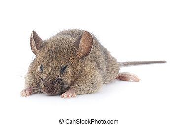 fronte, mouse., legno, vista