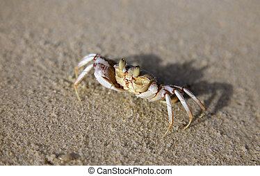 fronte, sabbia, vista, granchio, singolare
