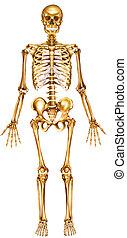 fronte, scheletro, vista