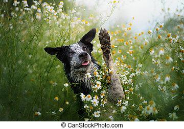 frontera, campo, perro, nature., daisies., collie