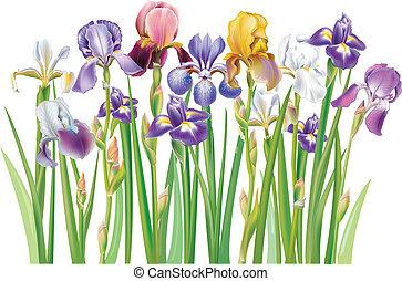 frontera, de, multicolor, iris, flores