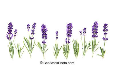 frontière, floral, fleurs, blanc, lavande, usines, fond
