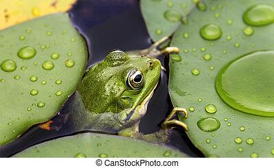frosch, auf, lilie polster
