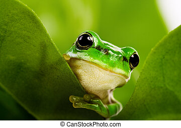 frosch, guckend