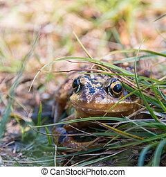 frosch, in, der, gras