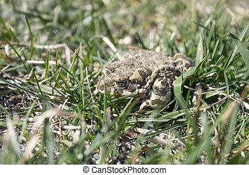 frosch, in, der, grass., a, grüner frosch, sitzt, in, der, grass., kröte, basierend, in, der, fruehjahr, auf, der, grass.