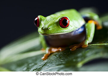 frosch, -, kleintier, rot äugig