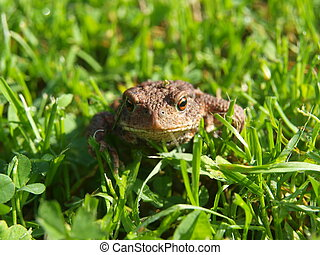 frosch, -, kröte, in, der, gras